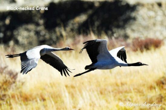Sichuan Birding Tour