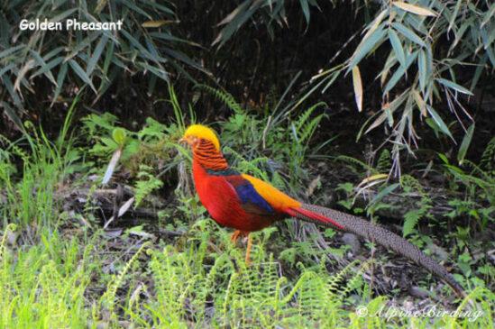 birding trips in Sichuan